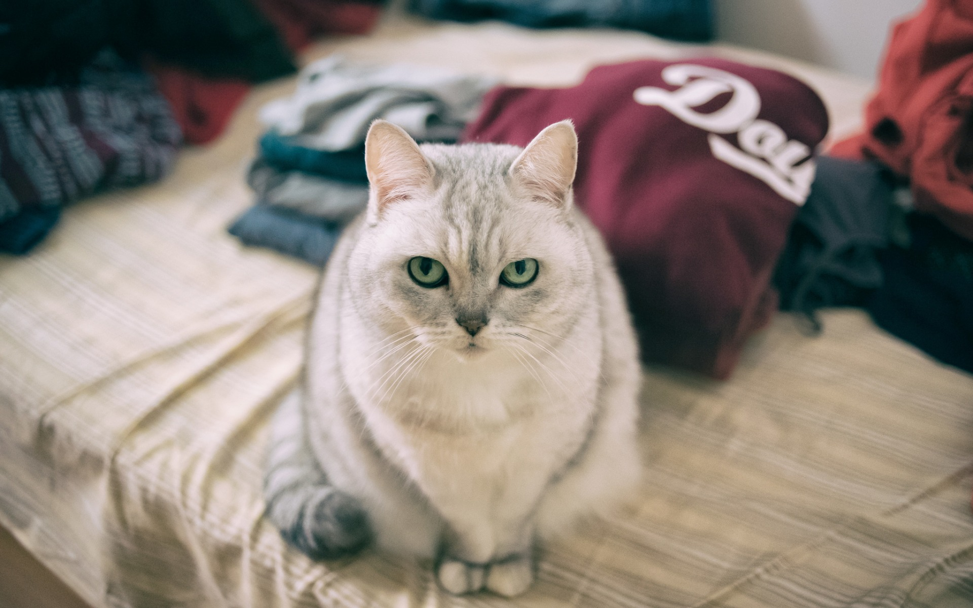 a serious gray cat, couch, clothes