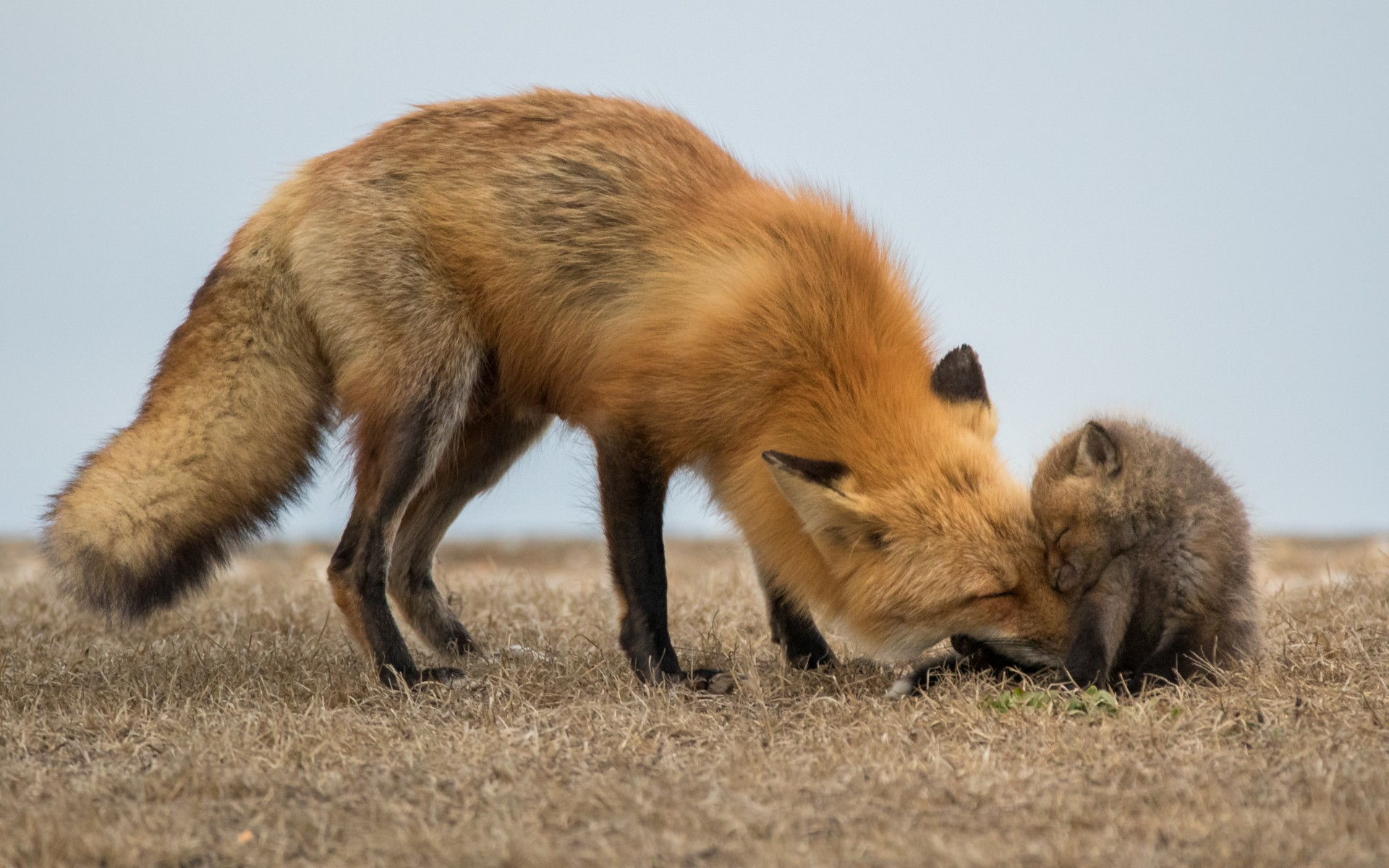A fox with her baby