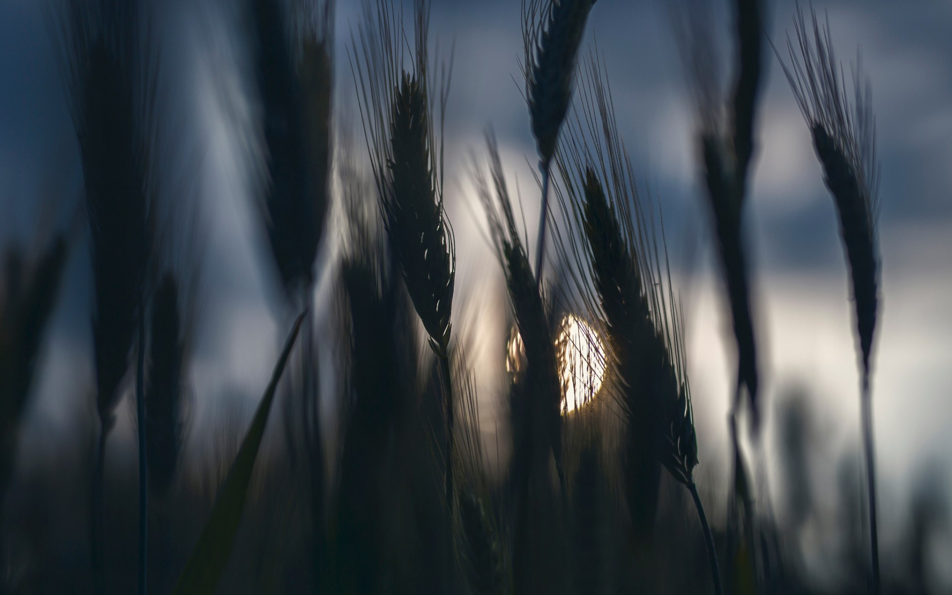 Ears of wheat in the moonlight